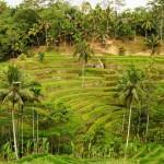 Bali-rizières-tegallalang (14) copie