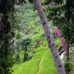 Bali-rizières-tegallalang (2) copie