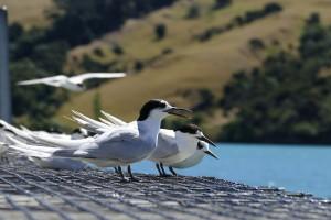 nouvelle-zelande-roadtrip-akaroa-lac-tekapo (8)